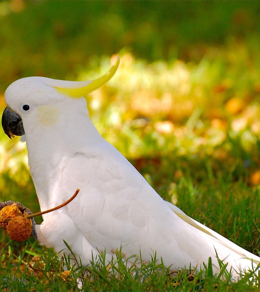 White Cockatoo from Australia | ONEPAGEWEBSITE.PRO